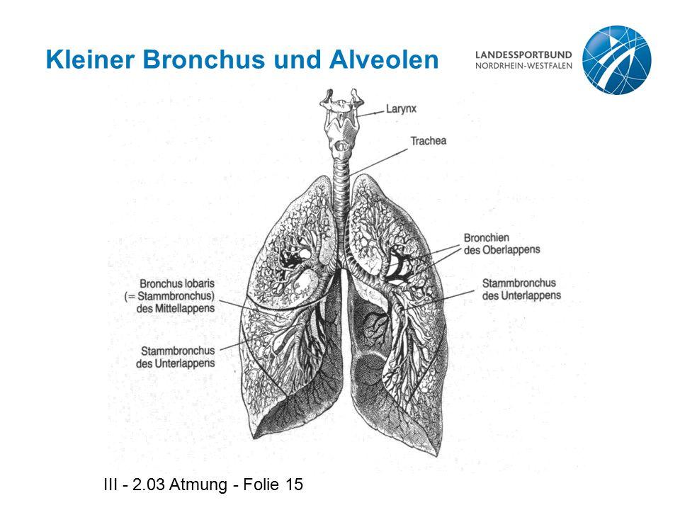 III - 2.03 Atmung - Folie 15 Kleiner Bronchus und Alveolen