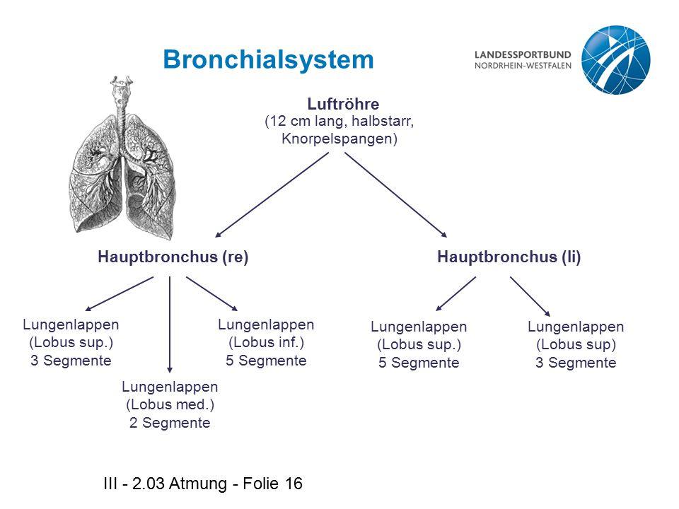 III - 2.03 Atmung - Folie 16 Bronchialsystem Lungenlappen (Lobus med.) 2 Segmente Luftröhre (12 cm lang, halbstarr, Knorpelspangen) Hauptbronchus (li)