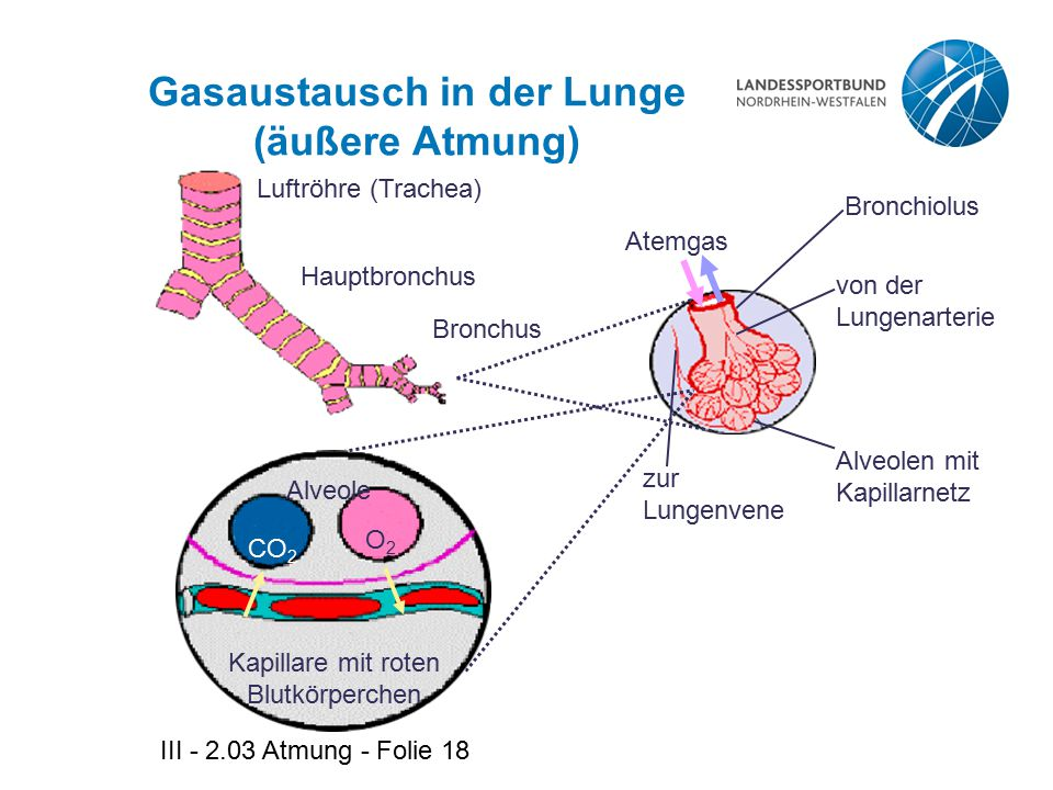 III - 2.03 Atmung - Folie 18 Gasaustausch in der Lunge (äußere Atmung) Luftröhre (Trachea) Hauptbronchus Bronchus Atemgas von der Lungenarterie Alveol