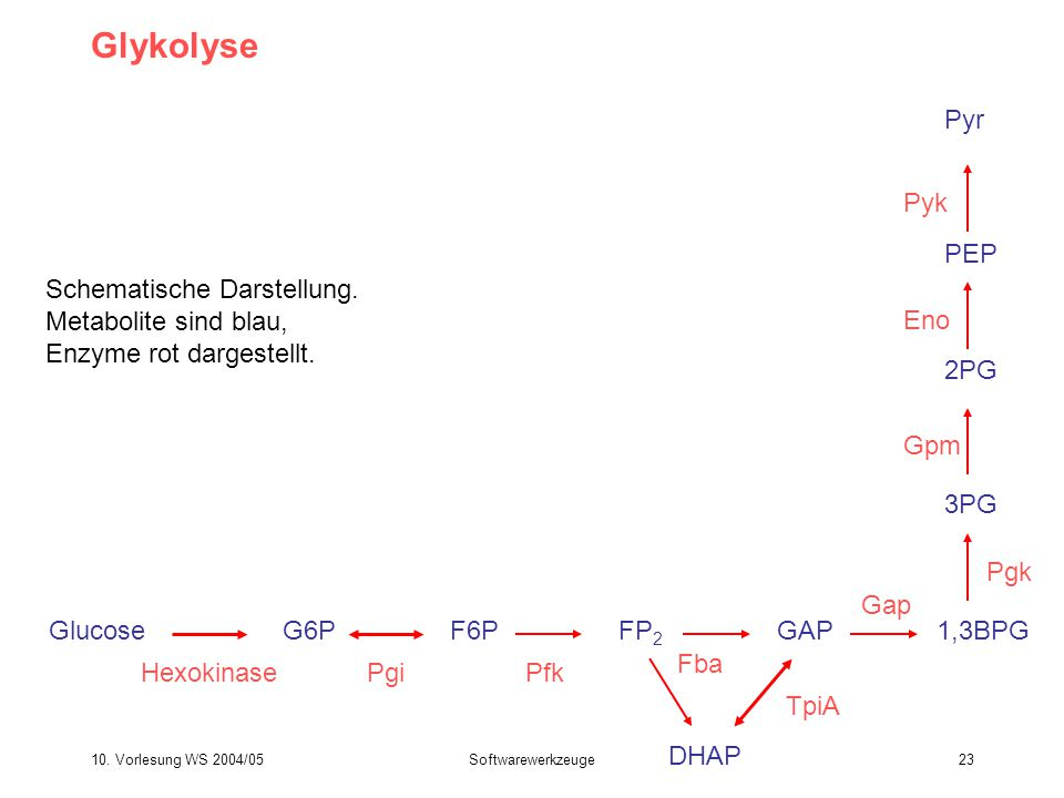 10. Vorlesung WS 2004/05Softwarewerkzeuge23 Glykolyse GlucoseG6P Hexokinase F6P Pgi FP 2 Pfk GAP Fba DHAP TpiA 1,3BPG 3PG Pgk Gap Gpm 2PG Eno PEP Pyk