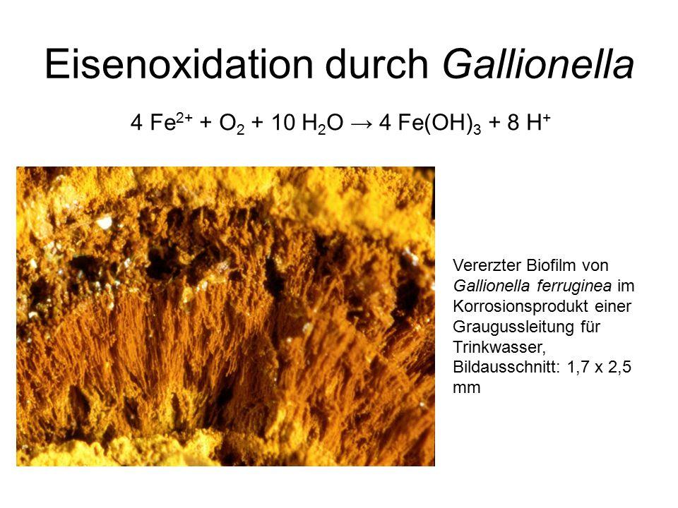Eisenoxidation durch Gallionella Vererzter Biofilm von Gallionella ferruginea im Korrosionsprodukt einer Graugussleitung für Trinkwasser, Bildausschnitt: 1,7 x 2,5 mm 4 Fe 2+ + O 2 + 10 H 2 O → 4 Fe(OH) 3 + 8 H +