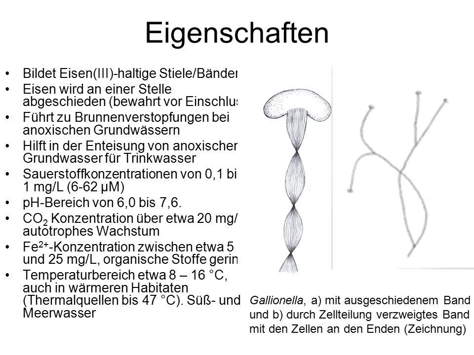 Eigenschaften Bildet Eisen(III)-haltige Stiele/Bänder Eisen wird an einer Stelle abgeschieden (bewahrt vor Einschluss) Führt zu Brunnenverstopfungen bei anoxischen Grundwässern Hilft in der Enteisung von anoxischen Grundwasser für Trinkwasser Sauerstoffkonzentrationen von 0,1 bis 1 mg/L (6-62 µM) pH-Bereich von 6,0 bis 7,6.