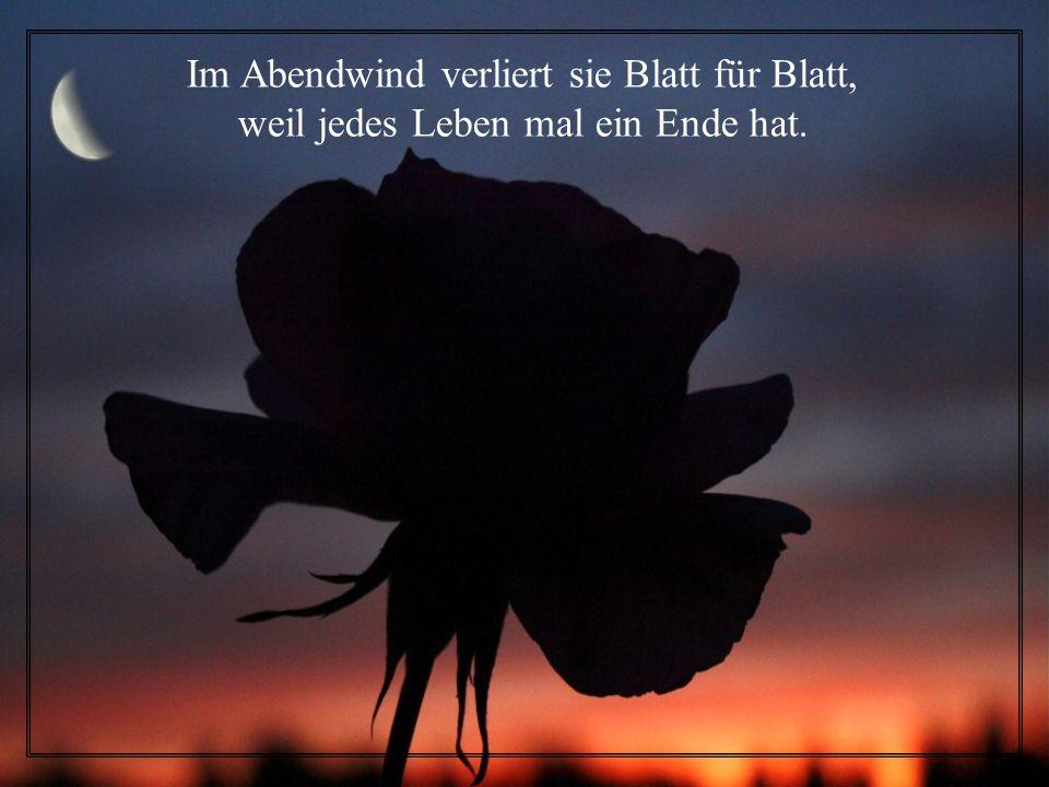 Manchmal wenn die Sonne abends scheint, sieht es aus, als ob die Rose weint.
