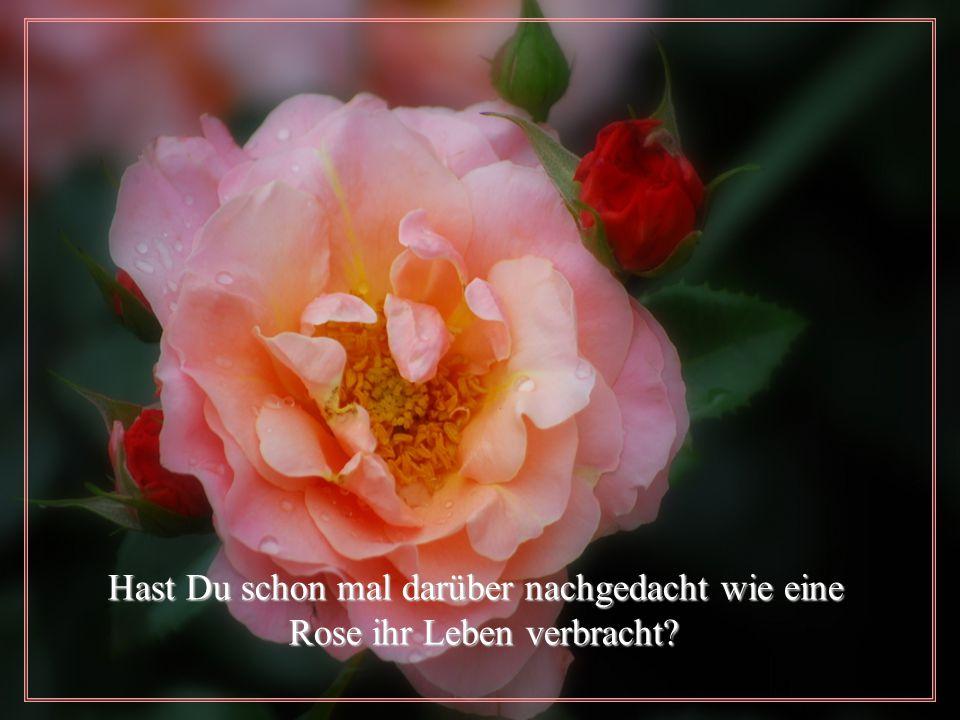 Hast Du schon mal darüber nachgedacht wie eine Hast Du schon mal darüber nachgedacht wie eine Rose ihr Leben verbracht.