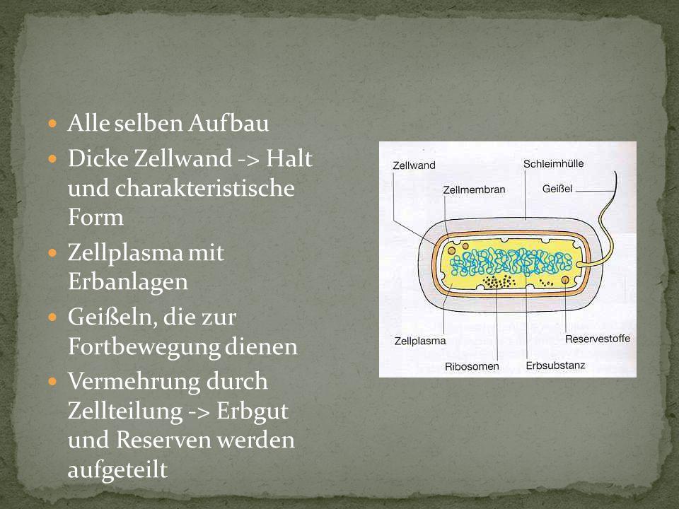 Alle selben Aufbau Dicke Zellwand -> Halt und charakteristische Form Zellplasma mit Erbanlagen Geißeln, die zur Fortbewegung dienen Vermehrung durch Z