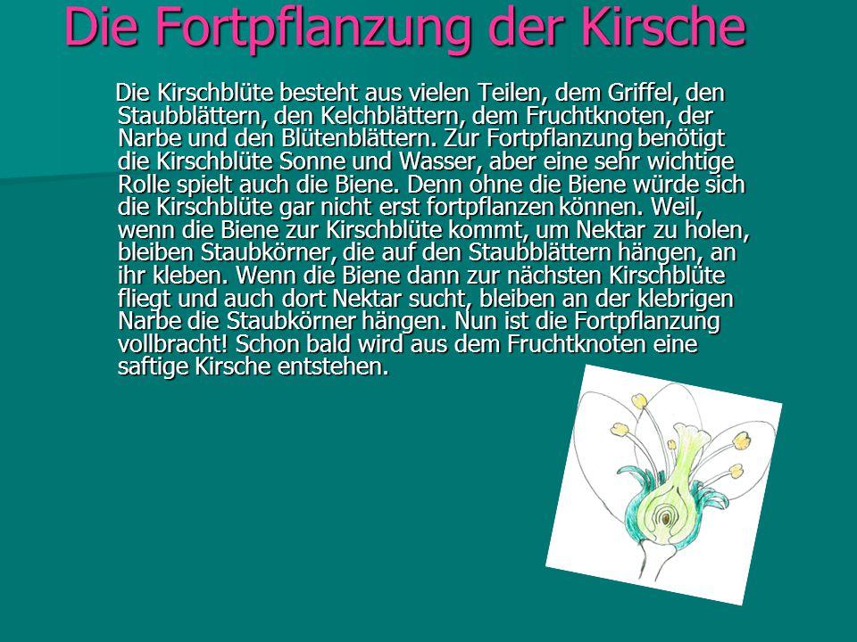 Die Fortpflanzung der Kirsche Die Kirschblüte besteht aus vielen Teilen, dem Griffel, den Staubblättern, den Kelchblättern, dem Fruchtknoten, der Narb