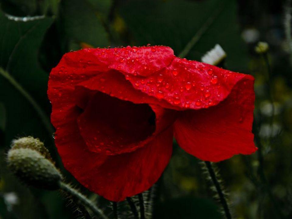 vier Mohnblumenblätter sich beugen dem Wind,