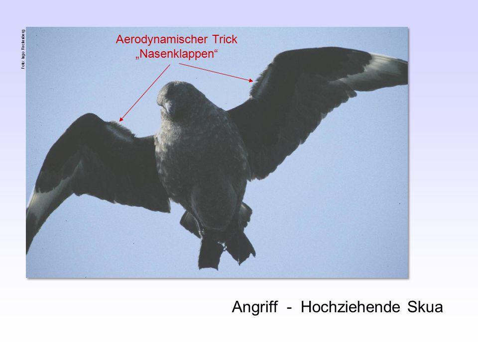"Angriff - Hochziehende Skua Aerodynamischer Trick ""Nasenklappen Foto: Ingo Rechenberg"