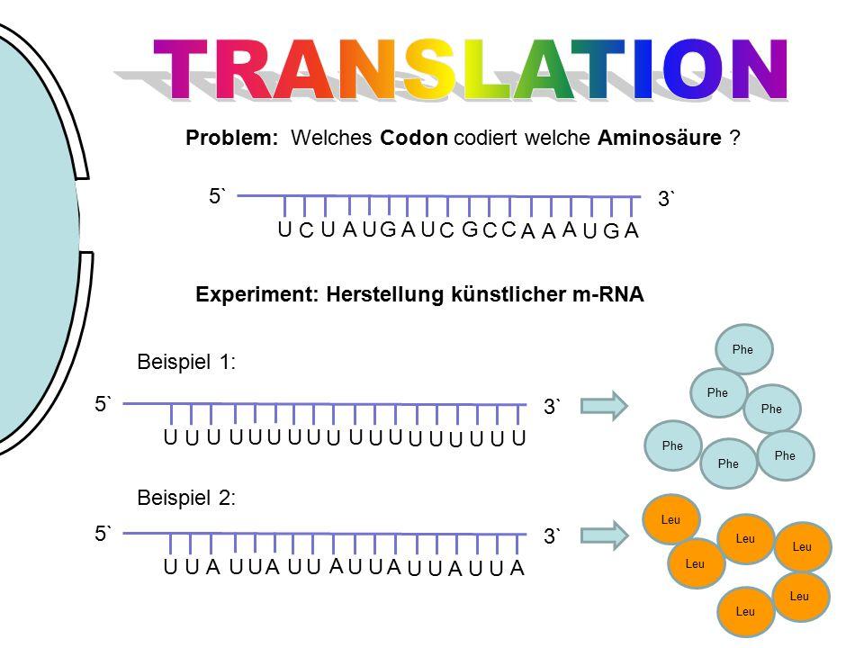 G UU C UA A U C G C C AA A UG A 3` 5` Problem: Welches Codon codiert welche Aminosäure ? Experiment: Herstellung künstlicher m-RNA Beispiel 1: U UU U