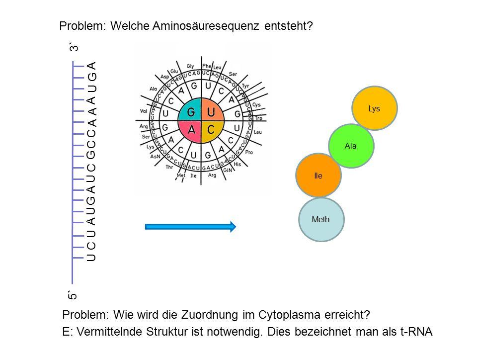 Problem: Welche Aminosäuresequenz entsteht? G UU C U A A U C G C C AA A UG A 3` 5` Meth Ile Ala Lys Problem: Wie wird die Zuordnung im Cytoplasma erre