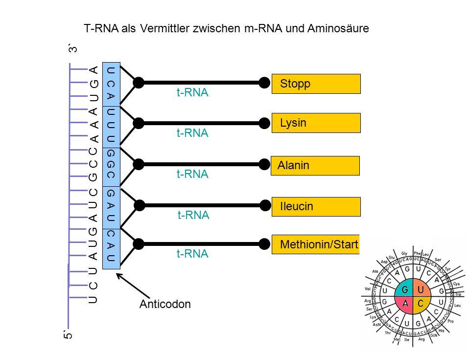 Zusammenfassung: 3` 5` AA A AGGGG CC T T TT T C A T G UU C UA A U C G C C AA AUG A 3` 5` m-RNA DNA Methionin/Start t-RNA U A C A U G T A C Anticodon Codon Codogen U U U t-RNA Lysin