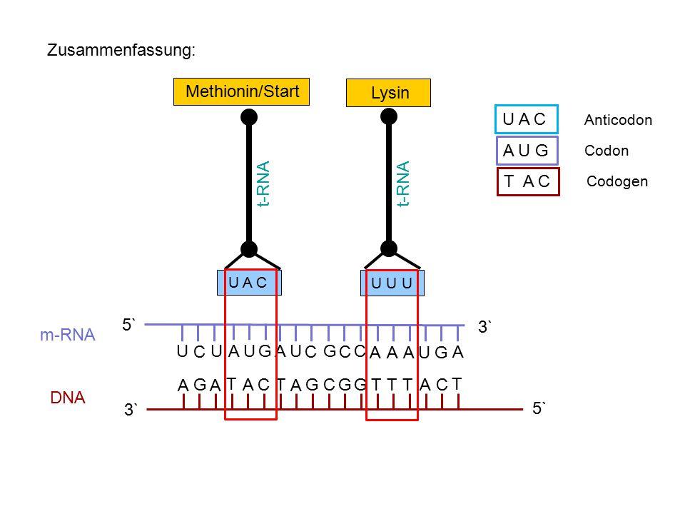 Zusammenfassung: 3` 5` AA A AGGGG CC T T TT T C A T G UU C UA A U C G C C AA AUG A 3` 5` m-RNA DNA Methionin/Start t-RNA U A C A U G T A C Anticodon C