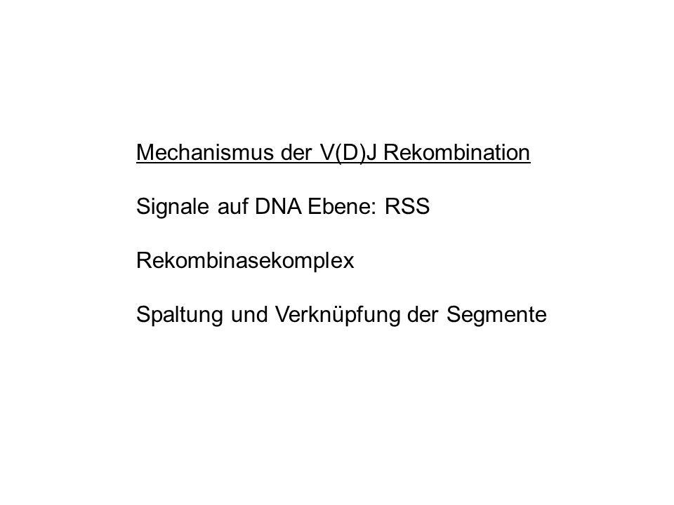 Mechanismus der V(D)J Rekombination Signale auf DNA Ebene: RSS Rekombinasekomplex Spaltung und Verknüpfung der Segmente
