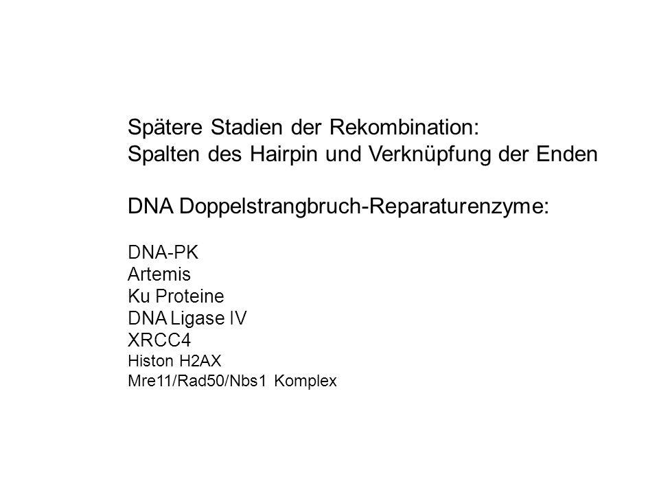 Spätere Stadien der Rekombination: Spalten des Hairpin und Verknüpfung der Enden DNA Doppelstrangbruch-Reparaturenzyme: DNA-PK Artemis Ku Proteine DNA