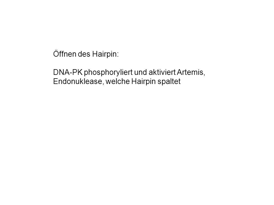 Öffnen des Hairpin: DNA-PK phosphoryliert und aktiviert Artemis, Endonuklease, welche Hairpin spaltet