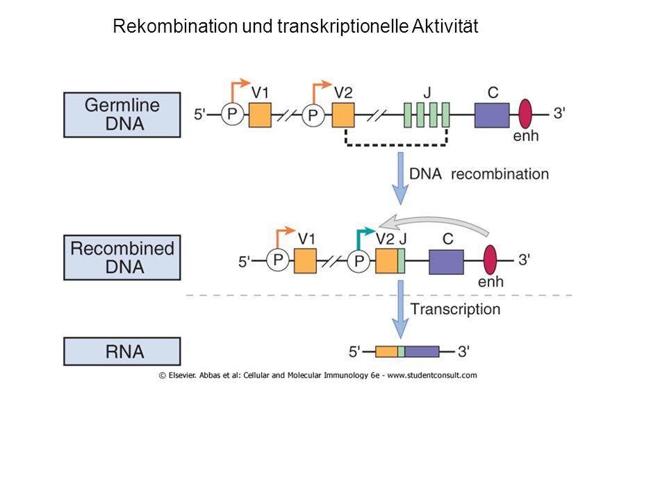 Rekombination und transkriptionelle Aktivität