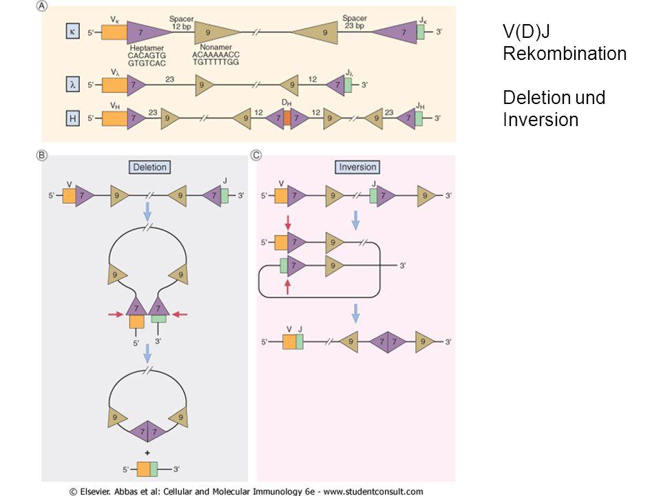 """Erkennungssequenzen auf DNA Ebene RSS: """"recognition signal sequences 1-turn Signal: Heptamer-12-Nonamer 2-turn Signal: Heptamer-23-Nonamer Rekombination nur zwischen 1-turn Signal und einem 2-turn Signal möglich"""