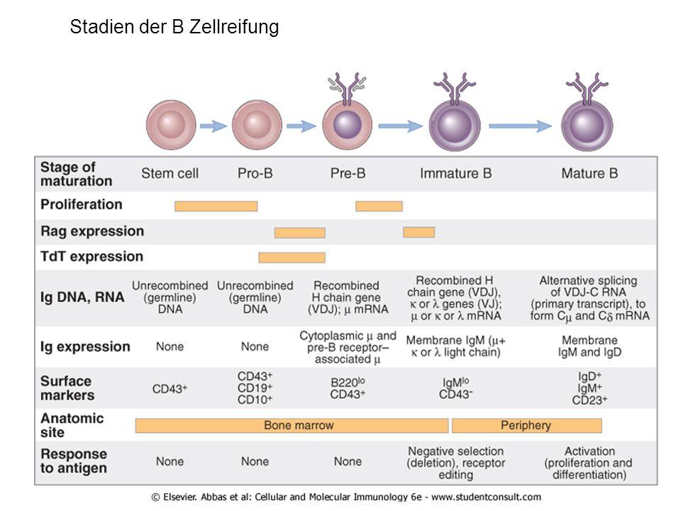 Stadien der B Zellreifung