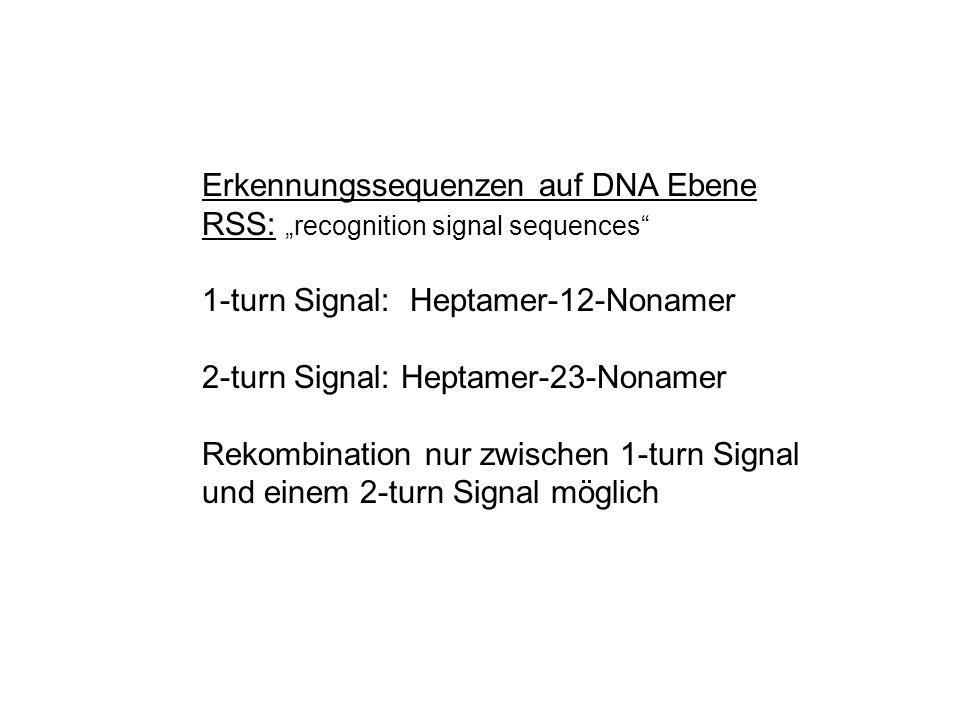 weiss: 1-turn schwarz: 2-turn Anordnung der RSS für einen Lokus identisch, bei verschiedenen Loci unterschiedlich
