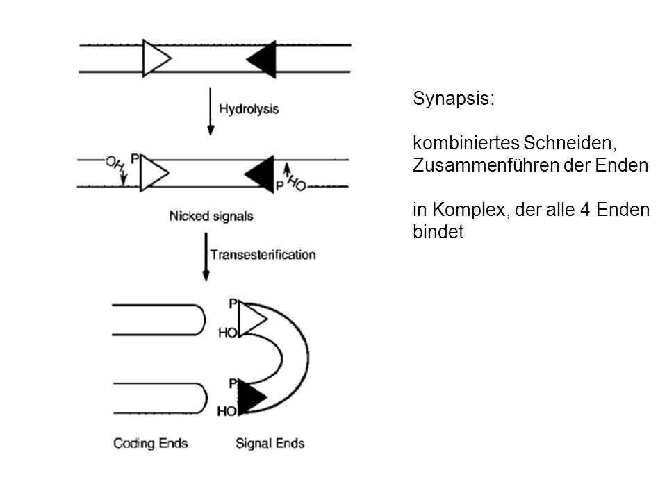 V(D)J Rekombinase: RAG1 und RAG2 (recombination activation genes) einzige lymphoid-spezifische Faktoren für Rekombination andere Faktoren in allen Zellen vorhanden k.o.