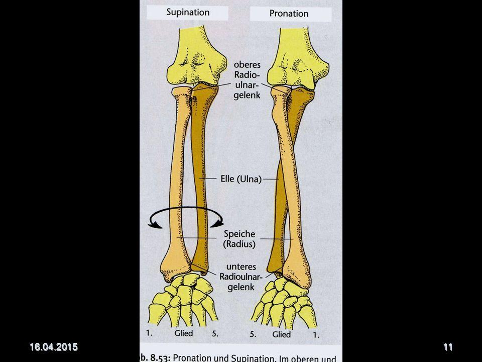 Unterarmknochen (Ulna und Speiche ermöglichen Supination und Pronation) Elle (Ulna) Elle (Ulna) dreiseitiger Knochen dreiseitiger Knochen an der Kleinfingerseite des Armes an der Kleinfingerseite des Armes proximal dicker (Olekranon) proximal dicker (Olekranon) distal dünner (Griffelfortsatz) distal dünner (Griffelfortsatz) Speiche (Radius) Speiche (Radius) an der Daumenseite des Armes proximal dünner distal dicker häufigste Fraktur des menschlichen Körpers = Radiusfraktur häufigste Fraktur des menschlichen Körpers = Radiusfraktur 16.04.2015Copyright © Dr.