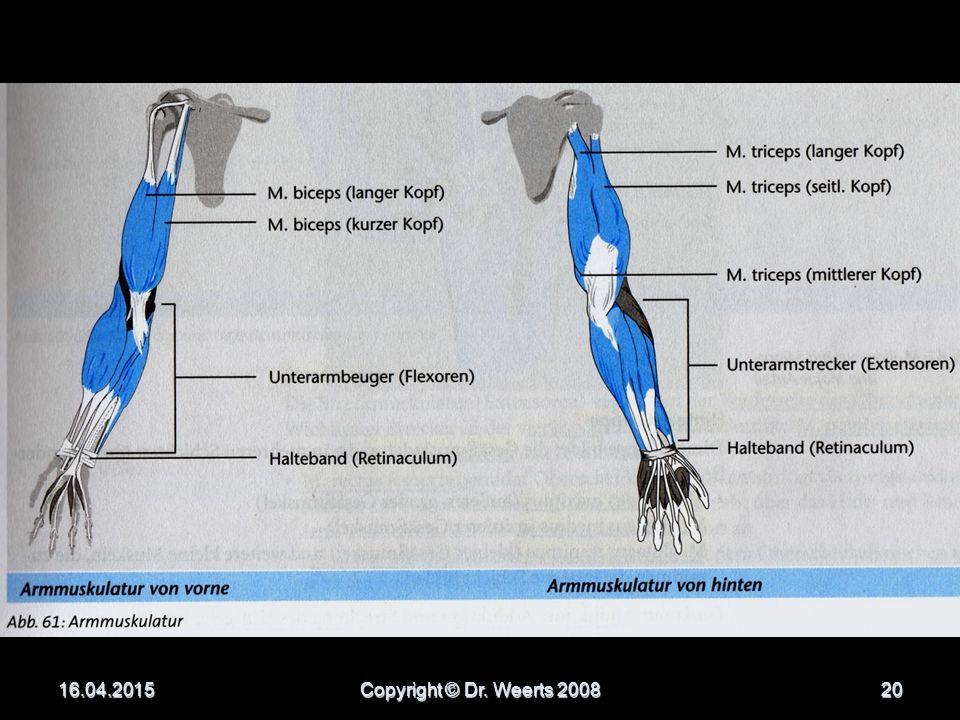 Oberarmmuskulatur M.triceps brachii M.