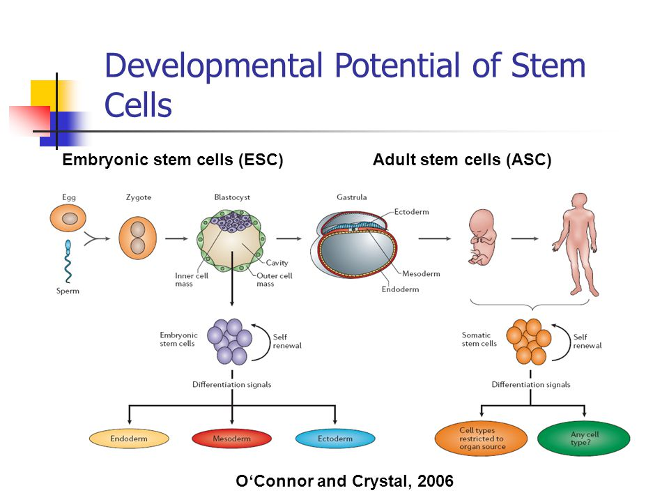 1- unipotent 2- multipotent 3- pluripotent 4- totipotent O'Connor and Crystal, 2006 Embryonic stem cells (ESC)Adult stem cells (ASC) Developmental Pot