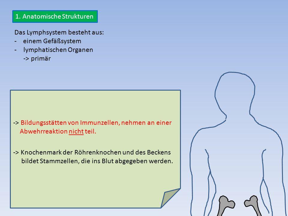 Das Lymphsystem besteht aus: - einem Gefäßsystem -lymphatischen Organen -> primär -> Bildungsstätten von Immunzellen, nehmen an einer Abwehrreaktion n