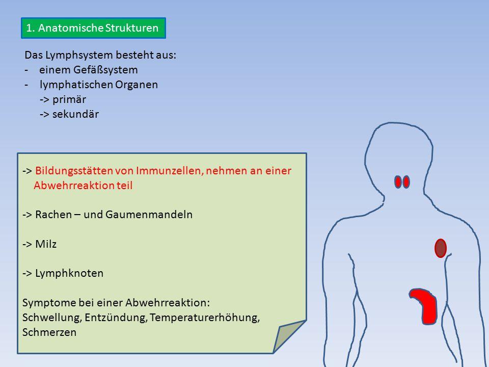 Das Lymphsystem besteht aus: - einem Gefäßsystem -lymphatischen Organen -> primär -> sekundär -> Bildungsstätten von Immunzellen, nehmen an einer Abwe