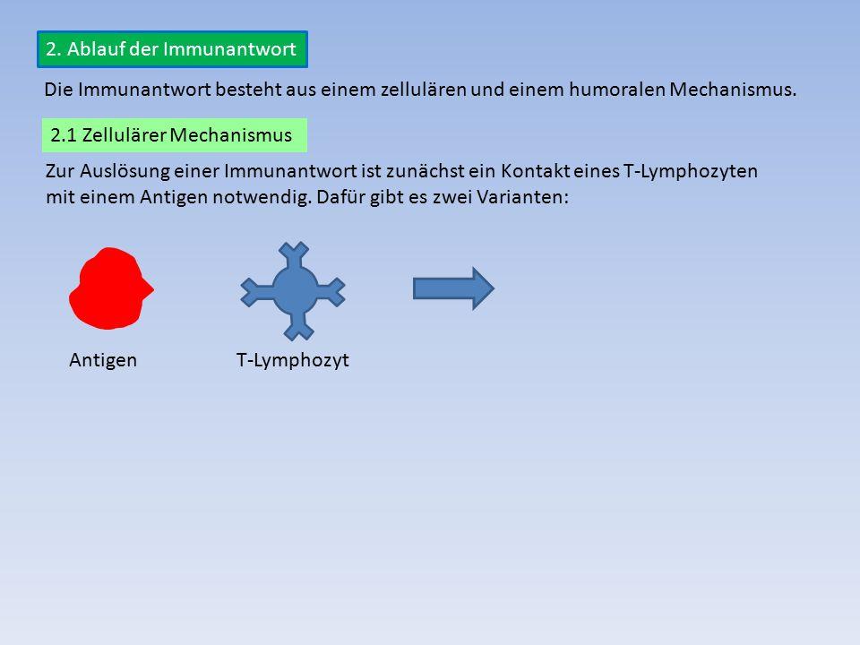 2. Ablauf der Immunantwort Zur Auslösung einer Immunantwort ist zunächst ein Kontakt eines T-Lymphozyten mit einem Antigen notwendig. Dafür gibt es zw