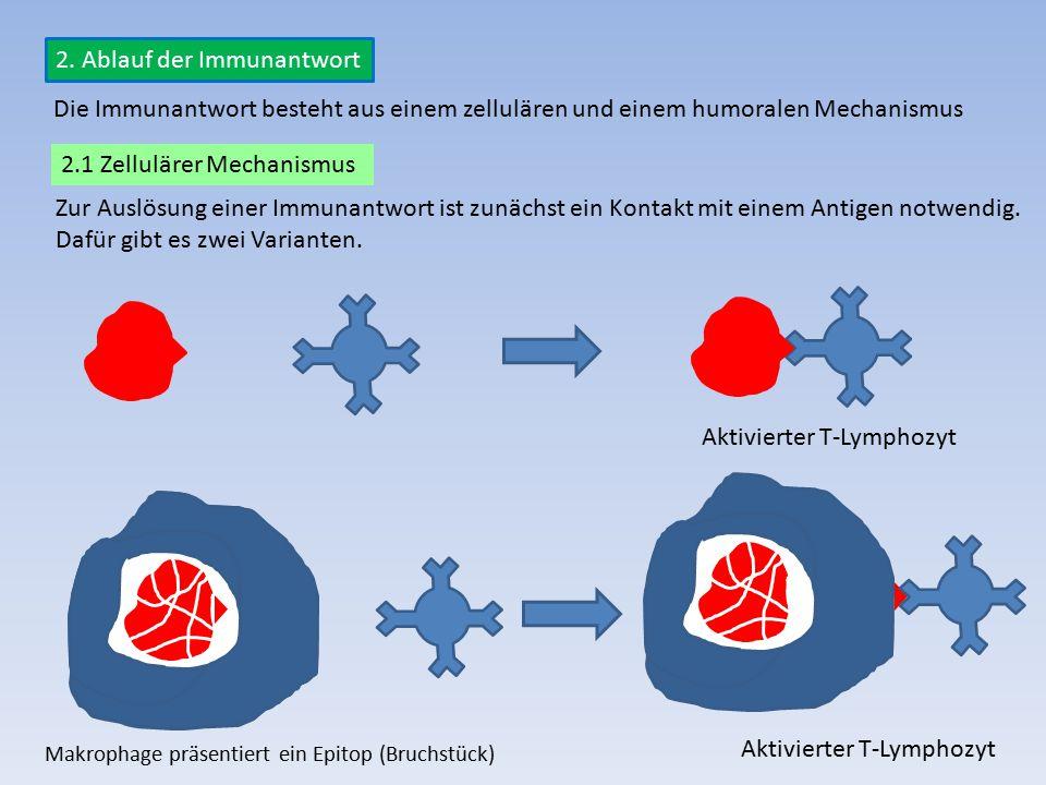 2. Ablauf der Immunantwort Zur Auslösung einer Immunantwort ist zunächst ein Kontakt mit einem Antigen notwendig. Dafür gibt es zwei Varianten. Die Im