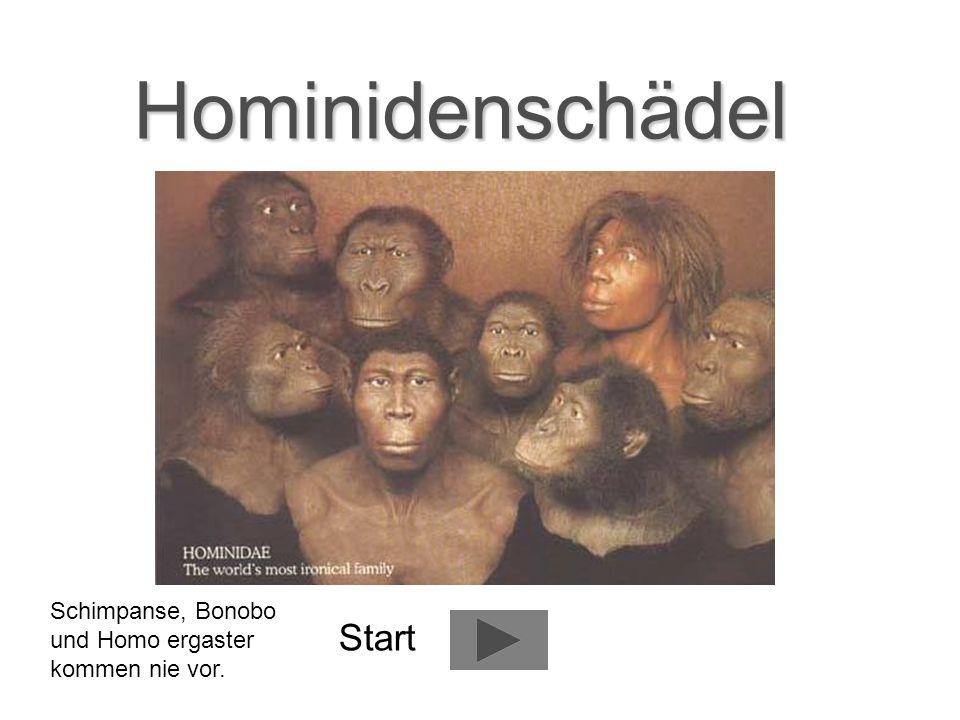 Hominidenschädel Start Schimpanse, Bonobo und Homo ergaster kommen nie vor.