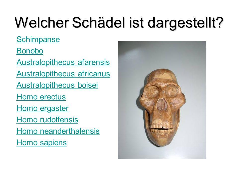 Schimpanse Bonobo Australopithecus afarensis Australopithecus africanus Australopithecus boisei Homo erectus Homo ergaster Homo rudolfensis Homo neand