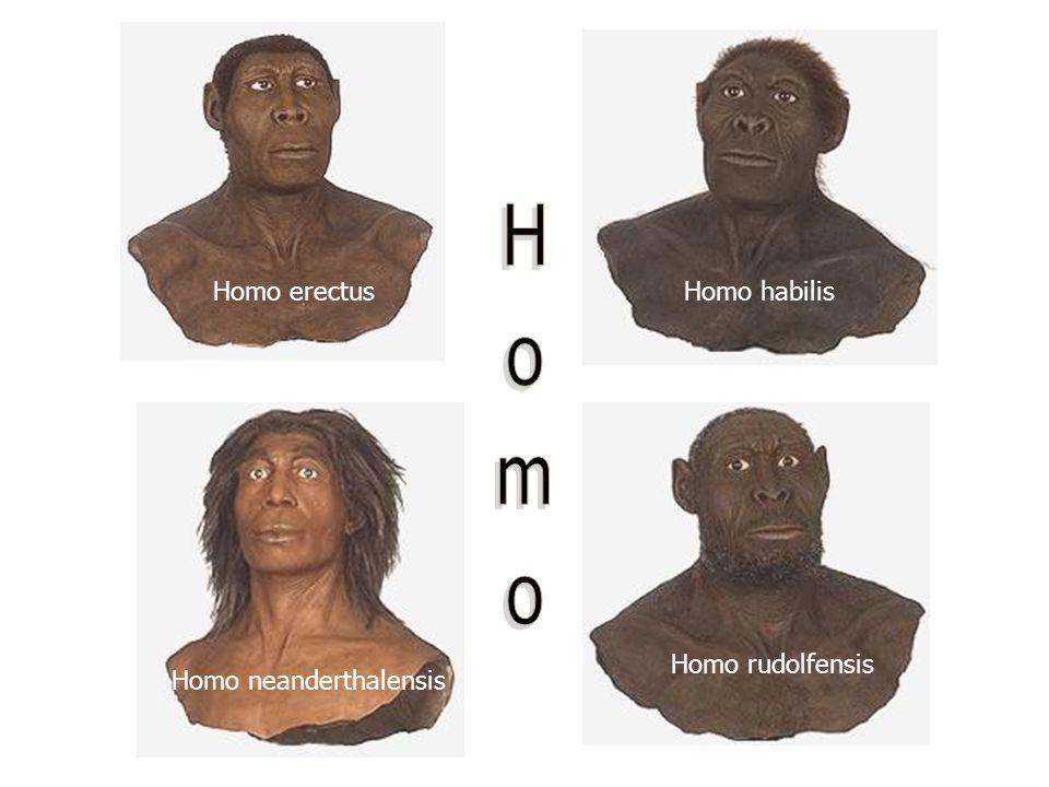 Homo erectusHomo habilis Homo neanderthalensis Homo rudolfensis