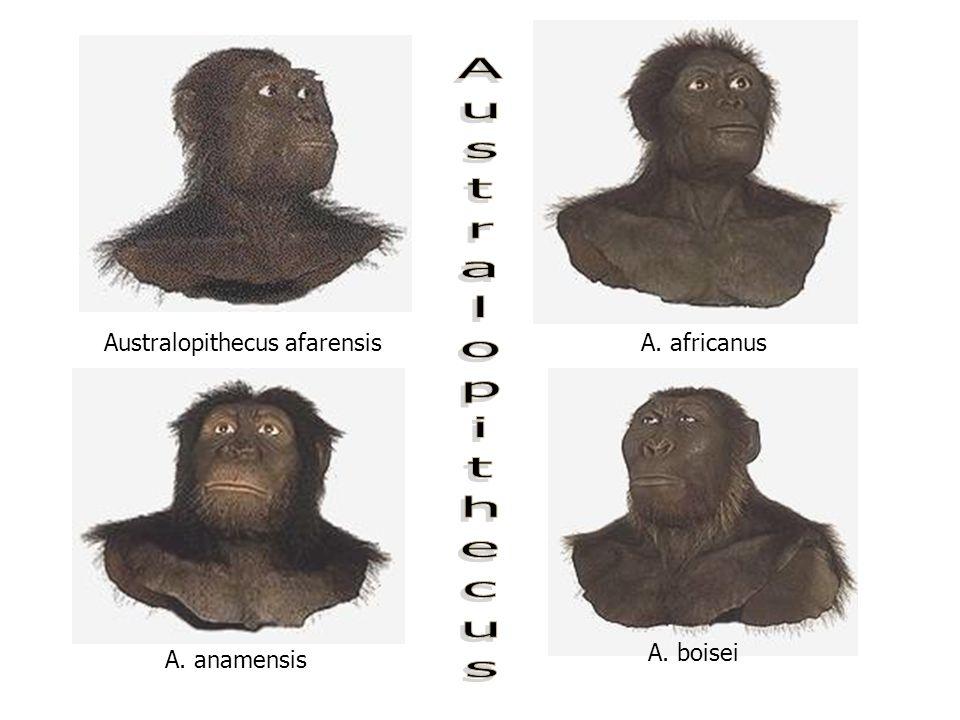 Australopithecus afarensis A. anamensis A. boisei A. africanus