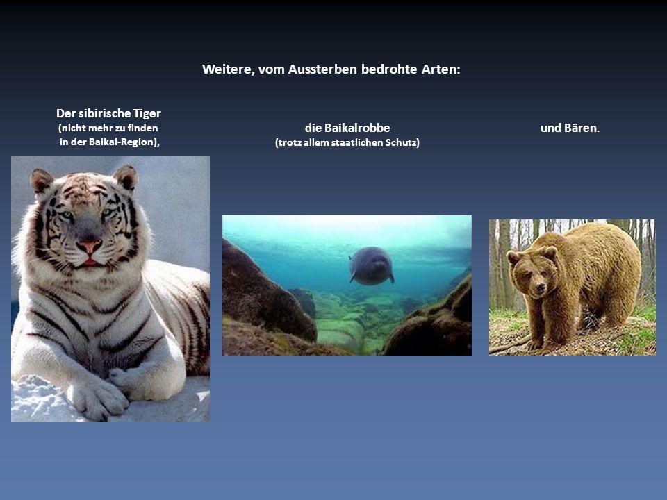 Der sibirische Tiger (nicht mehr zu finden in der Baikal-Region), die Baikalrobbe (trotz allem staatlichen Schutz) Weitere, vom Aussterben bedrohte Arten: und Bären.