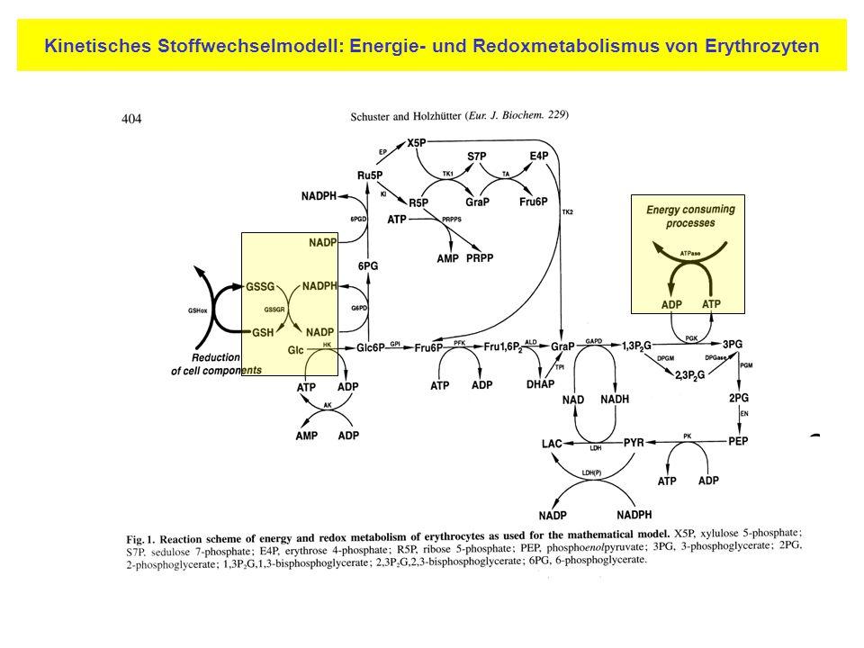 Kinetisches Stoffwechselmodell: Energie- und Redoxmetabolismus von Erythrozyten