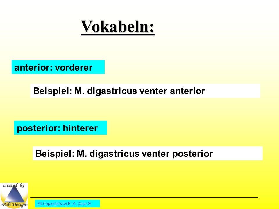 All Copyrights by P.-A. Oster ® Vokabeln: anterior: vorderer Beispiel: M. digastricus venter anterior posterior: hinterer Beispiel: M. digastricus ven