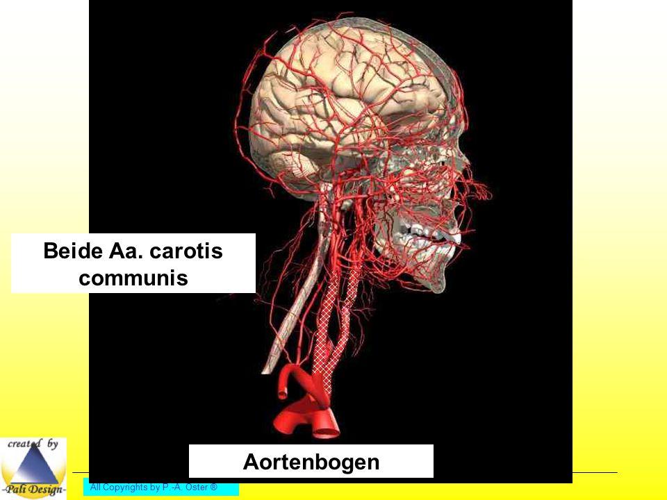All Copyrights by P.-A. Oster ® Aortenbogen Beide Aa. carotis communis