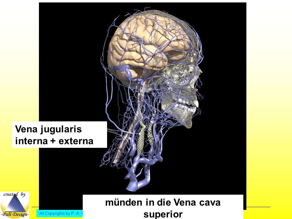 All Copyrights by P.-A. Oster ® Vena jugularis interna + externa münden in die Vena cava superior