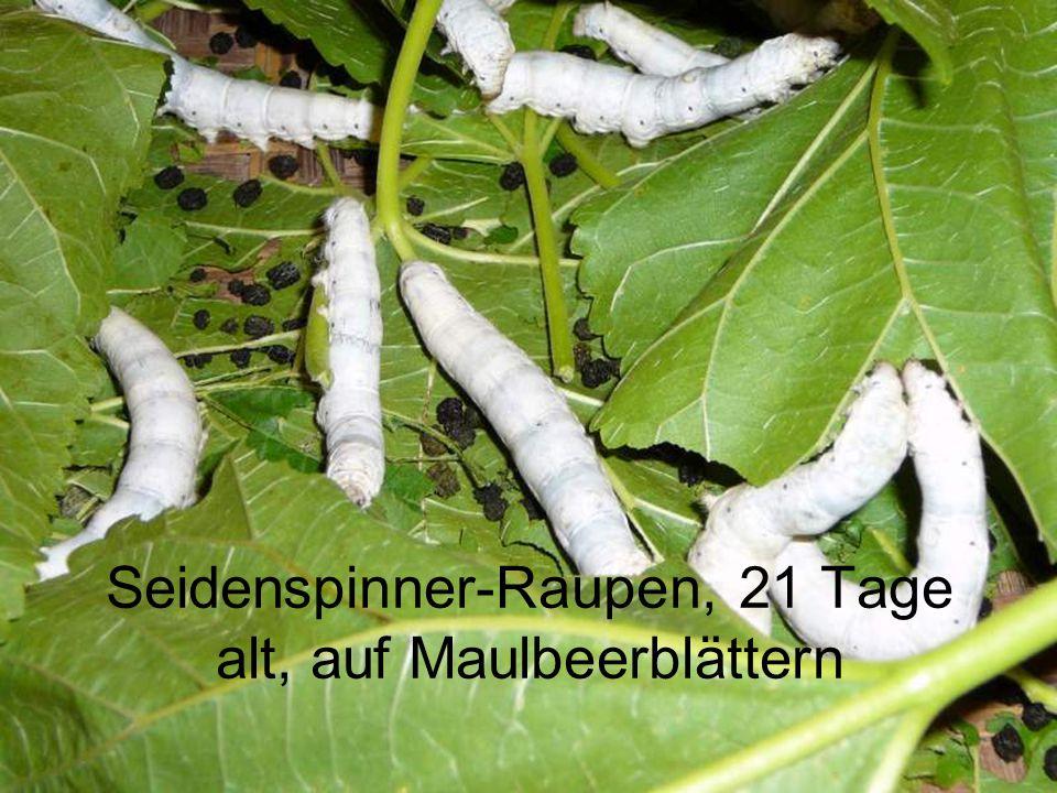 Seidenspinner-Raupe, 7 Tage alt