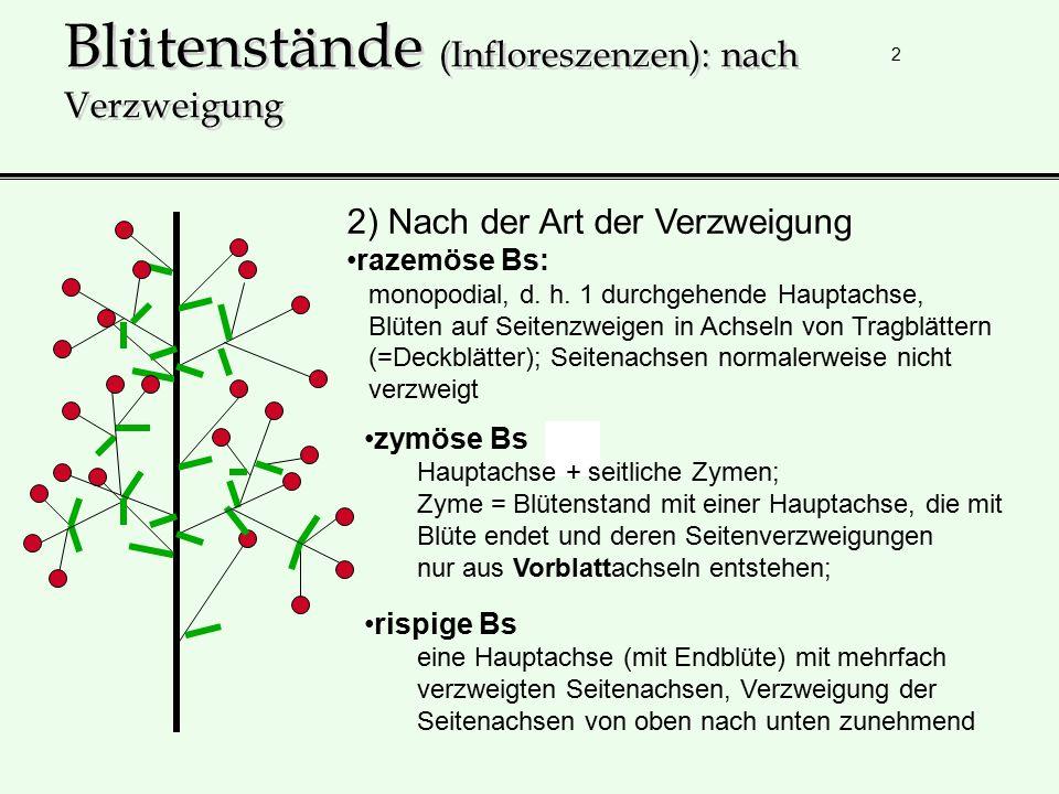 3 Blütenstände (Infloreszenzen): nach Verzweigung rispige Bs eine Hauptachse mit Endblüte mit mehrfach verzweigten Seitenachsen, Verzweigung der Seitenachsen von oben nach unten zunehmend