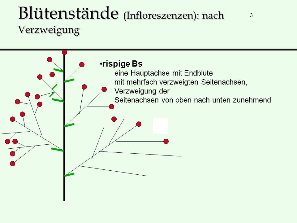 3 Blütenstände (Infloreszenzen): nach Verzweigung rispige Bs eine Hauptachse mit Endblüte mit mehrfach verzweigten Seitenachsen, Verzweigung der Seite