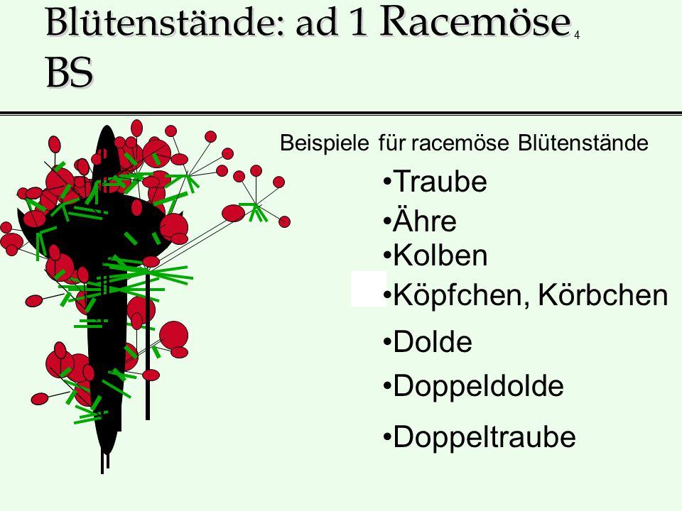 4 Blütenstände: ad 1 Racemöse BS Traube Beispiele für racemöse Blütenstände Ähre Kolben Köpfchen, Körbchen Dolde Doppeldolde Doppeltraube