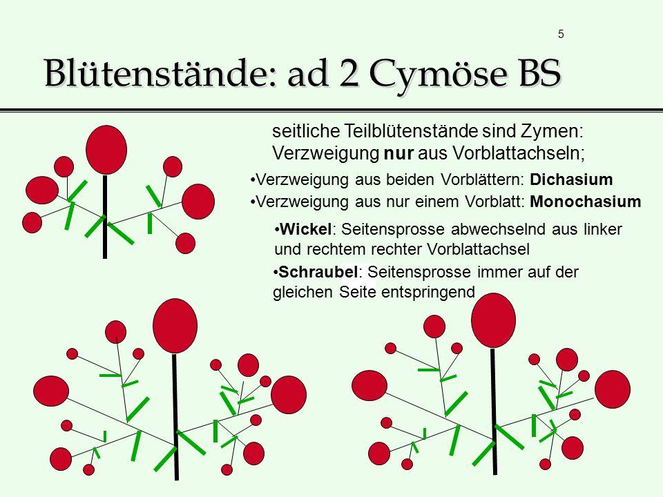 5 Blütenstände: ad 2 Cymöse BS seitliche Teilblütenstände sind Zymen: Verzweigung nur aus Vorblattachseln; Verzweigung aus beiden Vorblättern: Dichasi