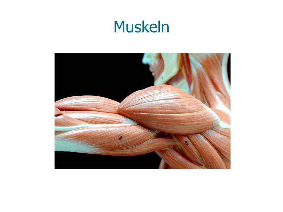 Muskeln für die Stimme im Kehlkopf Zungenbein Kehldeckel Kehlkopf- knorpel Muskel zum Zusammenziehen der Stellknorpel Muskel zum Öffnen der Stimmritze Stimmritze offen: Stellung beim Atmen Stimmritze geschlossen: Stellung beim Sprechen
