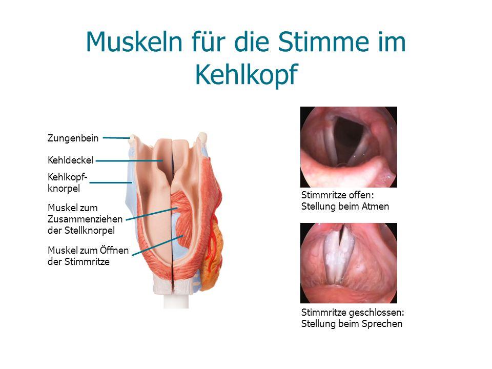 Muskeln für die Stimme im Kehlkopf Zungenbein Kehldeckel Kehlkopf- knorpel Muskel zum Zusammenziehen der Stellknorpel Muskel zum Öffnen der Stimmritze