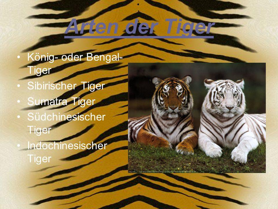 Weiße Tiger In der Natur sind weiße Tiger sehr selten.