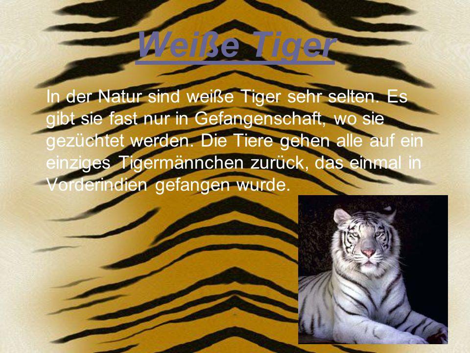 Das Revier eines Tiger Tiger sind Einzelgänger, so wie die meisten Katzen.