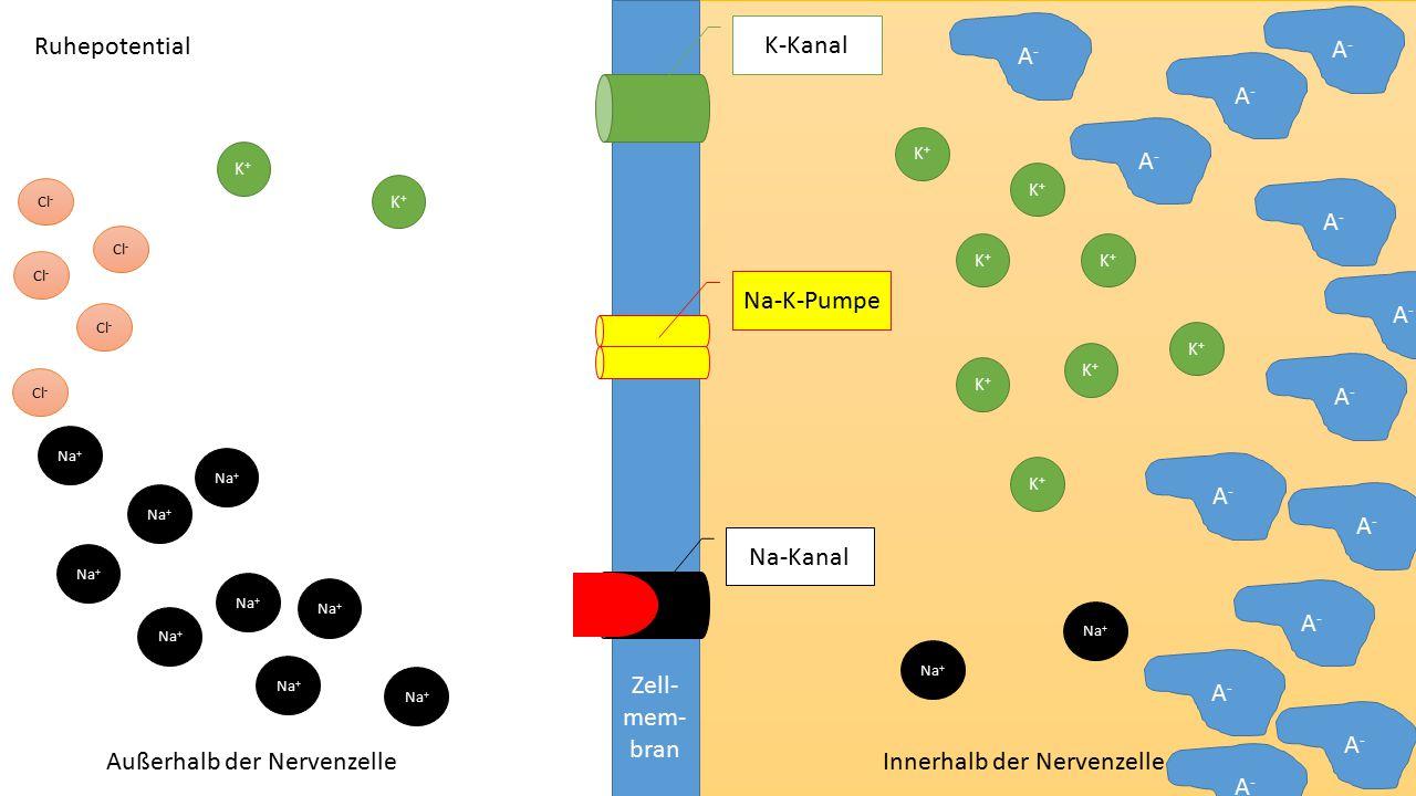 Zell- mem- bran Na-Kanal K-Kanal Na-K-Pumpe Aktionspotential - Depolarisation Außerhalb der Nervenzelle Innerhalb der Nervenzelle K+K+ K+K+ K+K+ K+K+ K+K+ K+K+ K+K+ K+K+ K+K+ K+K+ Na + A - Cl - A - Cl - Überschwelliger Reiz